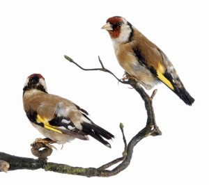 516 Goldfinch (800x710) (640x568)